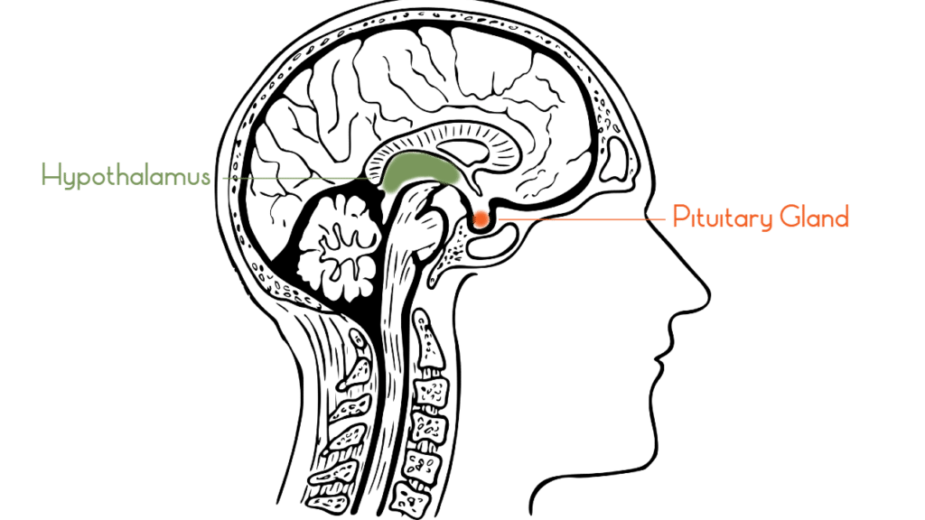 Adrenal fatigue starts in the brain at hypothalamus and pituitary gland.